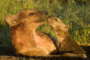 Hyena with pup in the Maasai Mara