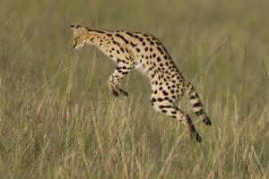 serval in the Maasai Mara