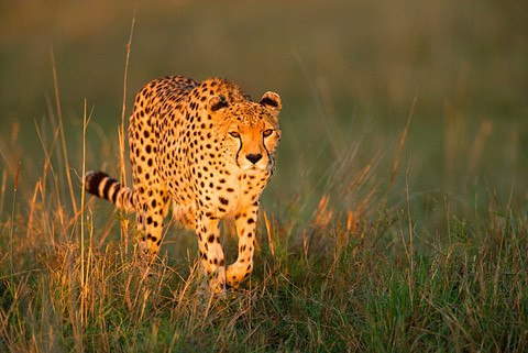 Cheetah at sunrise