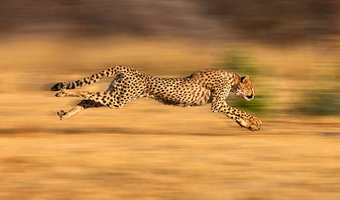 sprinting cheetah in Namibia