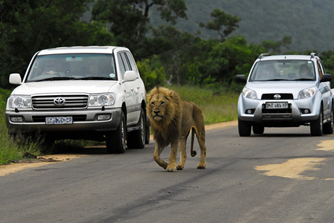 Male lion walking in road