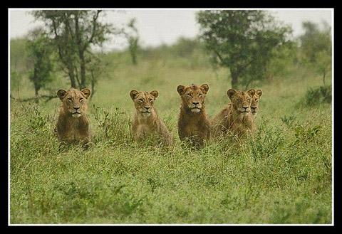Five lions looking
