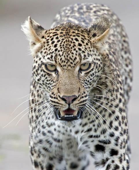 leopard walking in road kruger Park