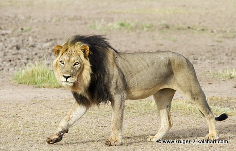 Male lion in Kalahari