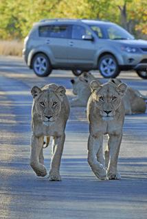 Lions near Punda Maria, Kruger National park