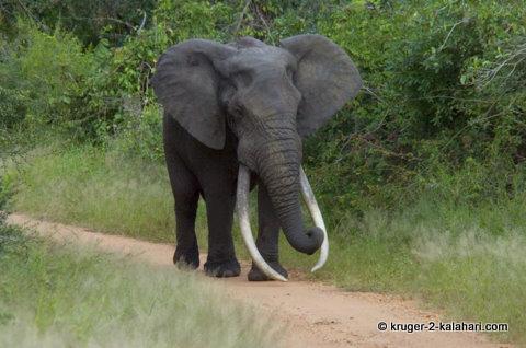 Masbambela - Kruger big tusker