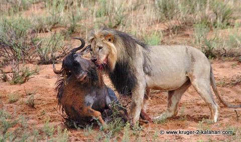 Kalahari Lion with wildebeest kill