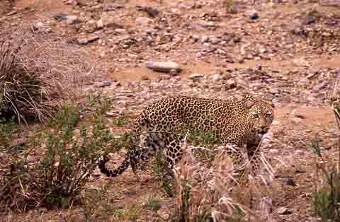 Leopard near Shingwedzi Camp