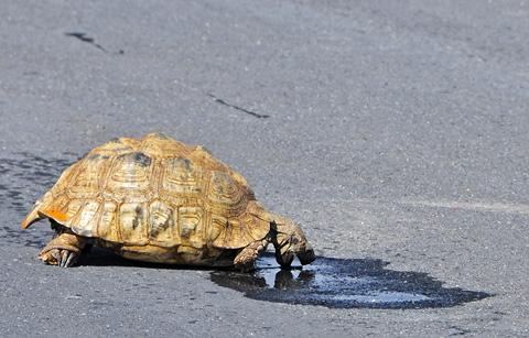 leopard tortoise drinking in road