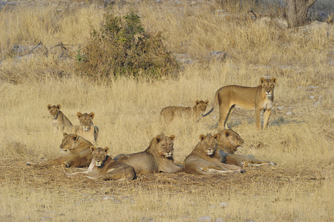pride of lions at Homob waterhole in etosha