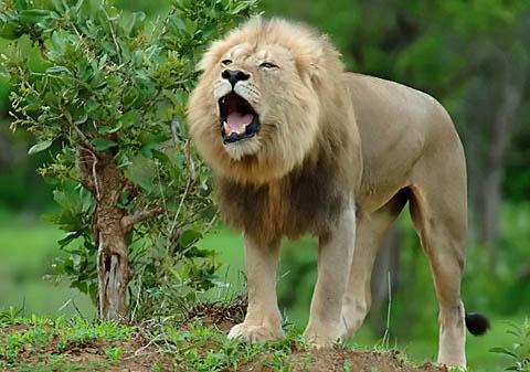 Male Lion roaring in Kruger Park