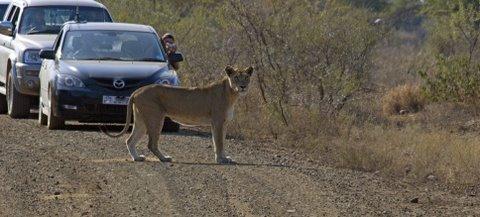 Lioness near Olifants camp, Kruger National Park