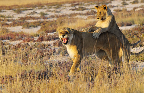 lion cub playing with mother near Salvadora