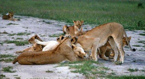 Lions at Inyati, Sabie Sands, Kruger Park