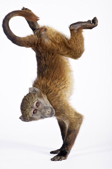 chacma baboon handstand