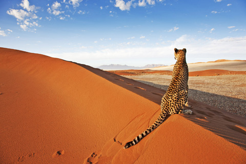 cheetah on sand dune in Namibia
