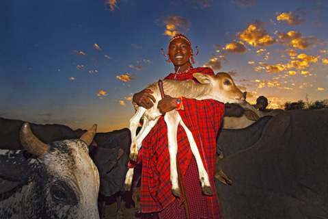 Masai with cow
