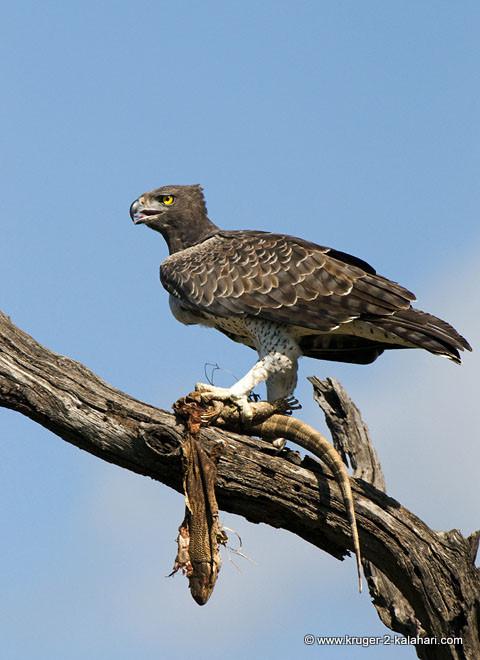 Martial Eagle with rock monitor prey in Kruger Park