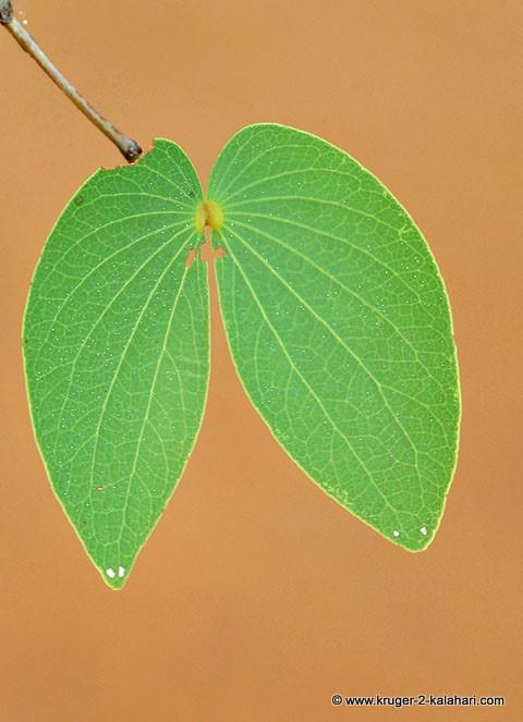 Mopani tree butterfly leaf