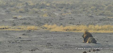male lion at Nebrownii waterhole