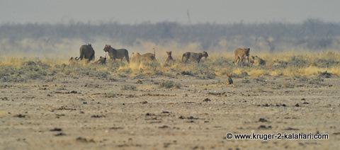 lion pride at Nebrownii waterhole, Etosha
