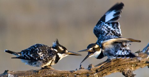 Pied Kingfishers making contact