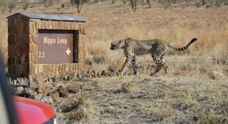 Cheetah on hippo loop, Pilanesberg