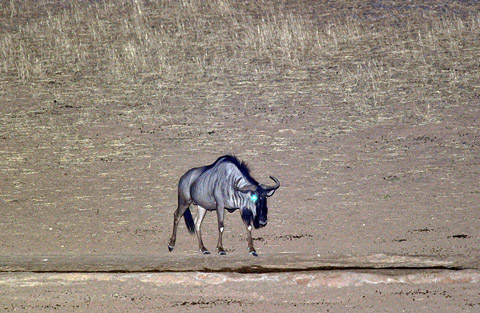 Wildebeest at Kalahari tented camp