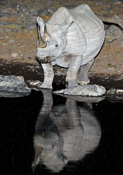 Rhino at Moringa waterhole in Etosha