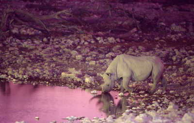 Rhino at Okaukuejo waterhole