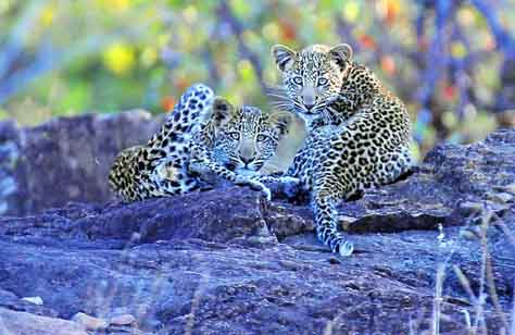 Leopard cubs near Shimuwini bush camp