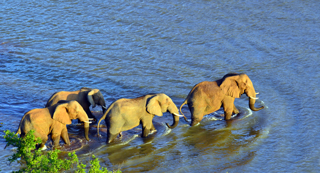 Elephants crossing Luvuvu River in front of Singo