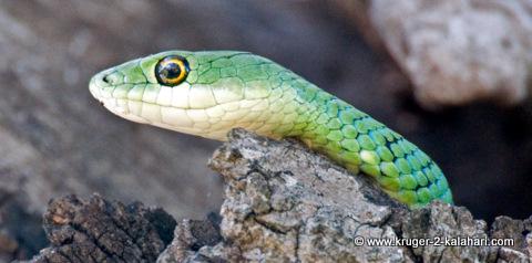Spotted bush snake Kruger Park