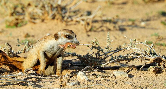 Meerkat with gecko