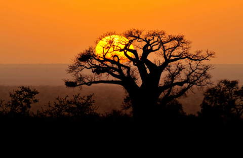 Baobab sunrise in Kruger Park