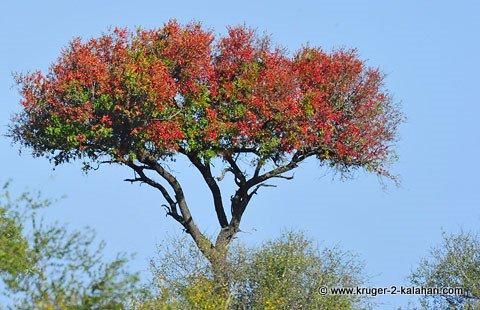 Tamboti tree