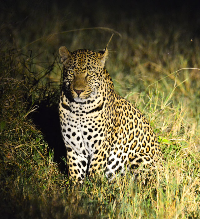 Leopard photographed at night