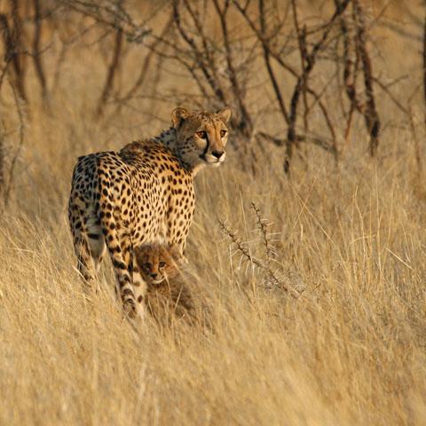 cheetah with cub in Etosha