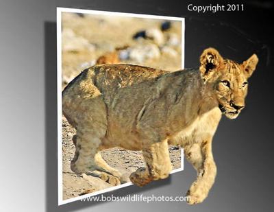 Lion cub escaping
