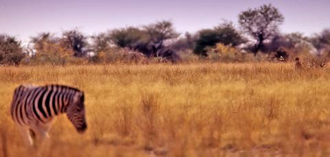 cheetah watching zebra in Etosha