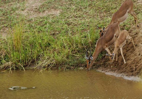 Crocodile watching impala drinking