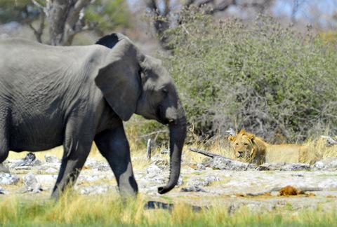 Lion watching elephant in Etosha