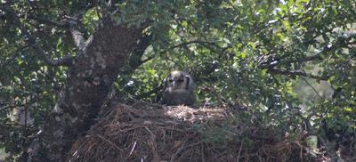Wise owl perched  on the nest - very well camouflaged.