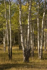 Aspen in Yellowstone Park