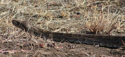 The Python moving into the undergrowth.