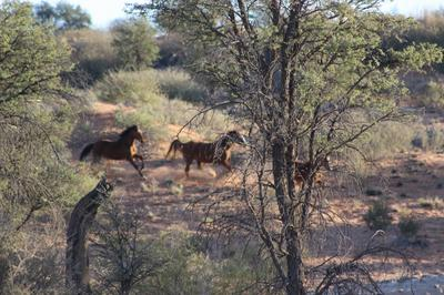 Horses galloping over the dunes with thundering hooves in the early hours of the morning.