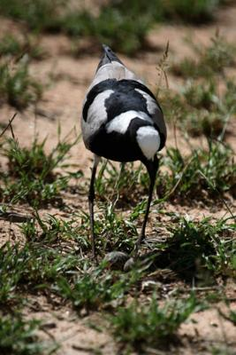 Blacksmith Lapwing (Plover)