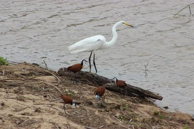 Great Egret and African Jacanas as company.