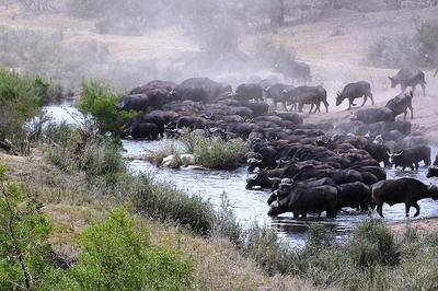 Buffalos drinking before stampede