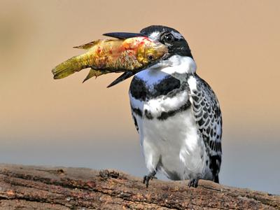 Pied Kingfisher with his catch